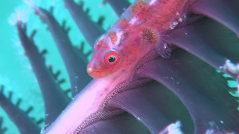 Whip Goby Footage