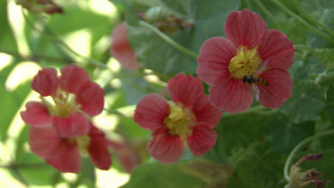 bee on a pink flower Live Action