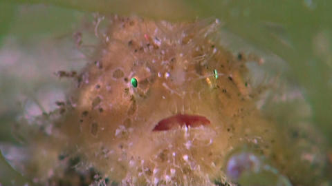 Hairy Frogfish Live Action