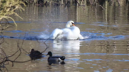 Swan bathing Footage
