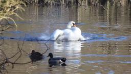 Swan bathing Footage
