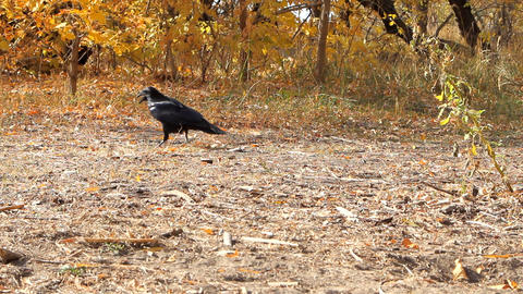 Raven is looking for food among the yellow leaves Footage