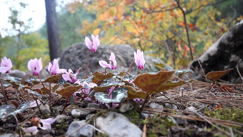 Winter flowers of cyclamen in mountains of Mediterranean Footage