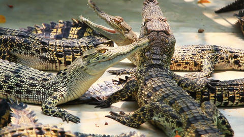 Young Crocodiles In Farm stock footage