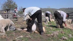 Man mowing sheep wool 03 Live Action