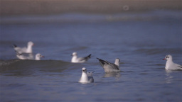 Seagulls On The Water stock footage