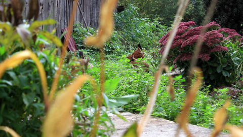 Hens In A Neglected Garden stock footage
