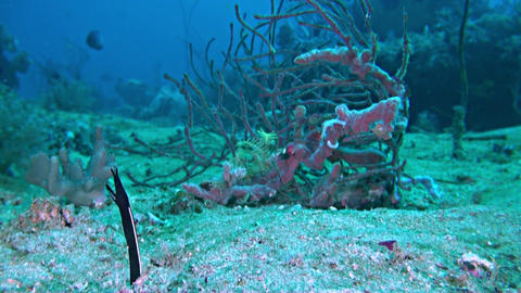 Ribbon eel in the sandy bottom Footage