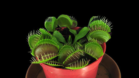 Time-lapse of growing Venus flytrap plant UHD 4K, ALPHA Footage