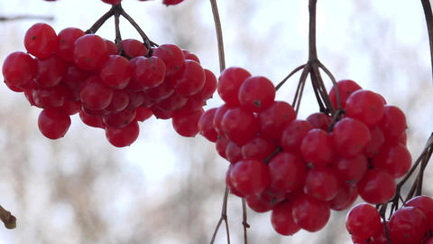 Viburnum Berries Closeup. Windy Motion. 4k Ultra HD Footage
