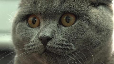 Scottish Fold Cat Closeup. 4k Ultra HD Footage