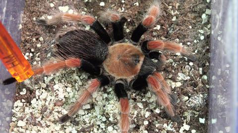 Big hairy spider. 4K Footage