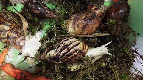 Big, huge snails. 4K Footage