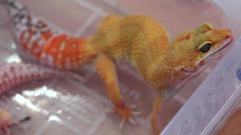 Yellow lizard. 4K Footage