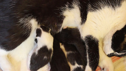 Newborn kittens drink milk (5) Footage