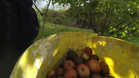 Picking apples 02 Footage