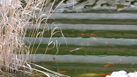 Garden Pond With Carp Koi stock footage