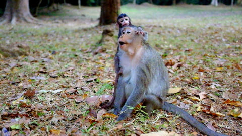 Baby Monkey Playing With Mother stock footage