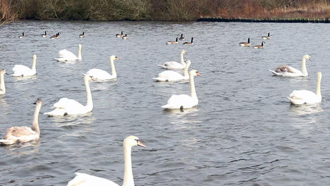 Swans swimming Footage