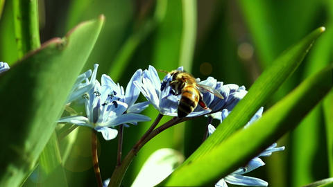 Several Bees Pollinate Spring Young Flowers Footage