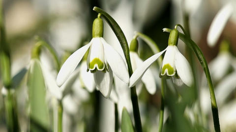 Young Snowdrops Swaying in the Wind Footage