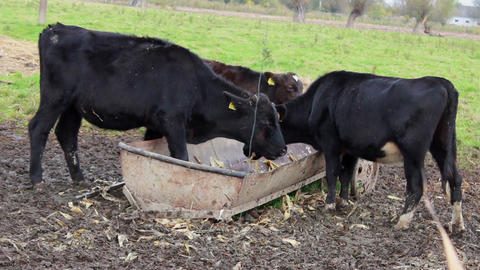 Calves Eating Hay From The Feed Trough stock footage