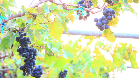 bunches of red wine grapes close-up Footage