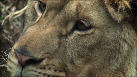 Slow motion with a young lion resting, close up Footage