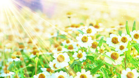 camomile flowers and sunlight seamless loop Footage