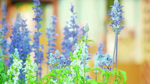 blue flowers in spring garden shallow DOF Footage