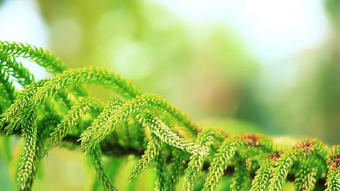 Branch Of Conifer Tree Close-up stock footage
