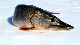 Pike Winter stock footage