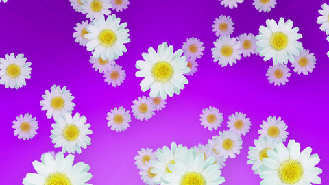 Spring Summer Daisies Purple Animation