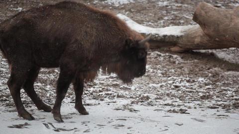 Big bison slides on ice Footage