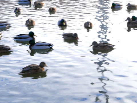 Ducks on the water. Winter. 640x480 Stock Video Footage