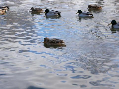 Ducks on the water. Winter. 640x480 Footage