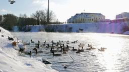 Ducks fed bread. Winter Stock Video Footage