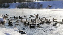 Ducks fed bread. Winter Footage
