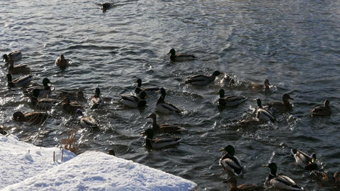 Ducks on the snow and in the water Footage
