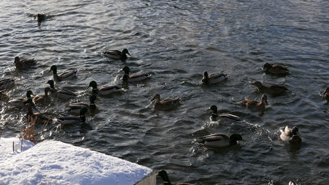 Ducks on the snow and in the water Stock Video Footage