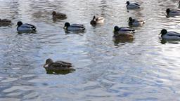 Ducks on the water. Winter. 4K Stock Video Footage