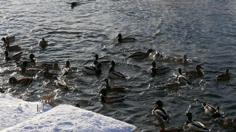 Ducks on the snow and in the water. 1280x720 Footage