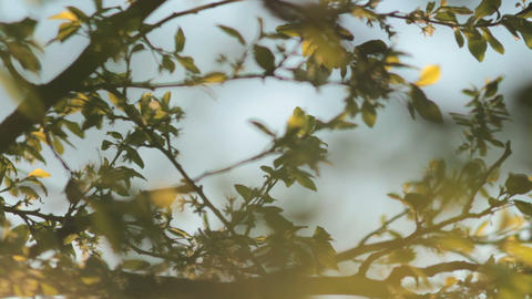 Sun shining through tree leaves and branches at sunset Footage