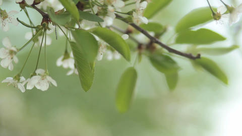 Cherry trees blooming in spring. Nature awakening. Fruit... Stock Video Footage