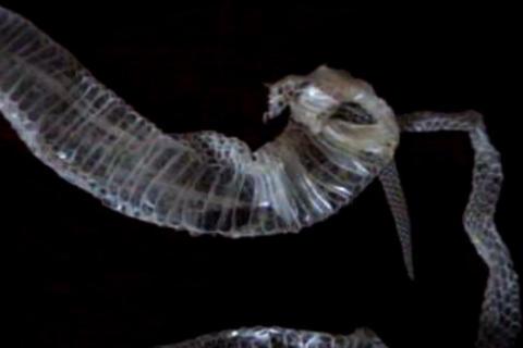 snakeskin 1ab Stock Video Footage