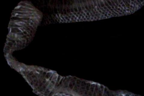 snakeskin 1ab Footage