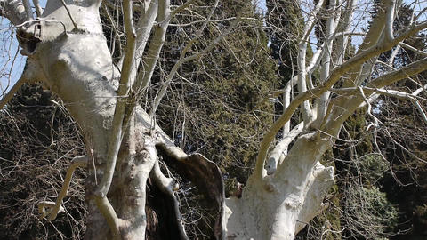 Giant Sycamores in Early Spring Season 1 Stock Video Footage