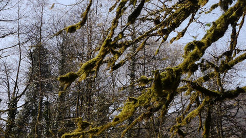 Moss on Trees in Mountain Gorge 4 Stock Video Footage