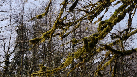 Moss on Trees in Mountain Gorge 4 Live Action