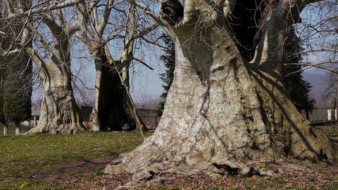 Giant Sycamores in Early Spring Season 4 Stock Video Footage